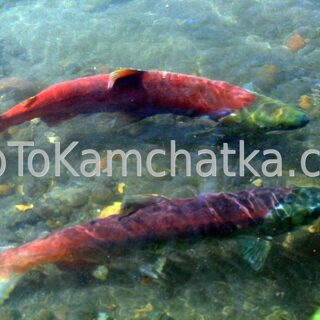 Kamchatka. Spawning