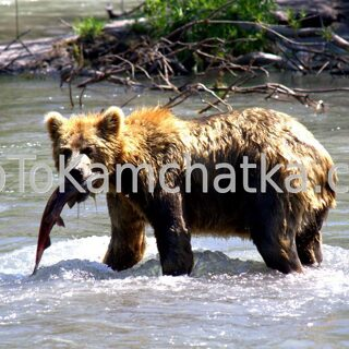Kamchatka. Brown bear