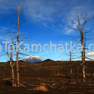 Kamchatka. Dead forest. Tours to Kamchatka