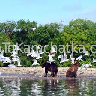 Kamchatka. Kurile Lake. Brown bears