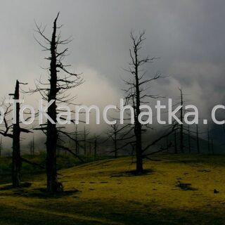 Kamchatka. Dead forest. Tours in Kamchatka