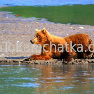 Kamchatka. Kurile Lake. Brown bear