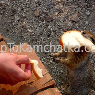 Kamchatka. Hungry ground squirrel