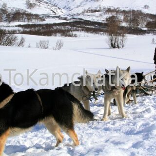 Kamchatka. Dog sledding tours
