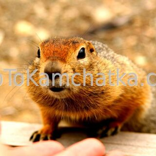 Kamchatka. Ground squirrel