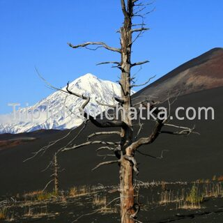 Kamchatka. Dead forest. Tours in Kamchatka. Tours to the Plosky Tolbachik volcano