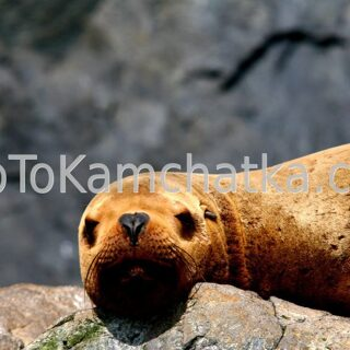 Kamchatka. Russkaya Bay. Steller sea lion