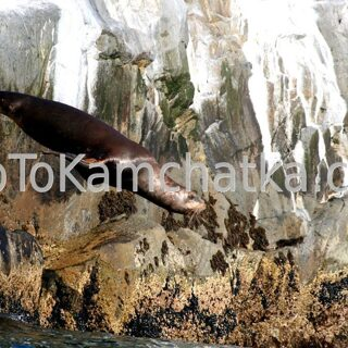 Kamchatka. Russkaya Bay. Steller sea lion leap