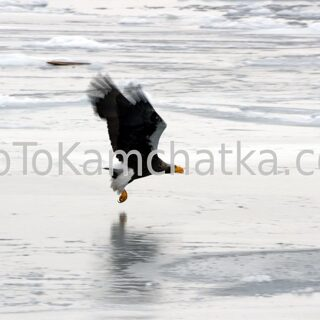 Kamchatka. Steller's sea eagle at the city pier