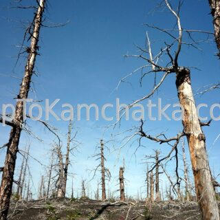 Kamchatka. Dead forest. Tours in Kamchatkan