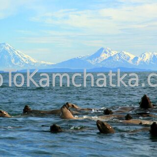 Kamchatka. Russkaya Bay. Steller sea lions and volcanoes