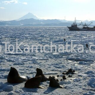 Kamchatka. Steller sea lions at the city pier