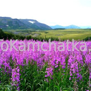 Kamchatka. Vachkazhets Mountain Range. Flowers
